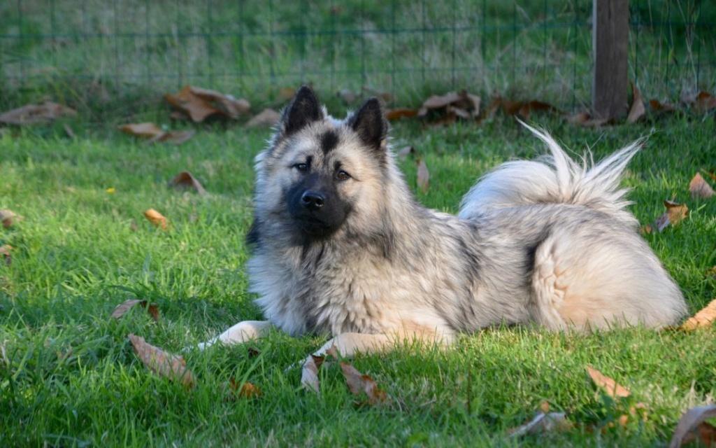 Quel est le chien préféré des Français? Eurasi11