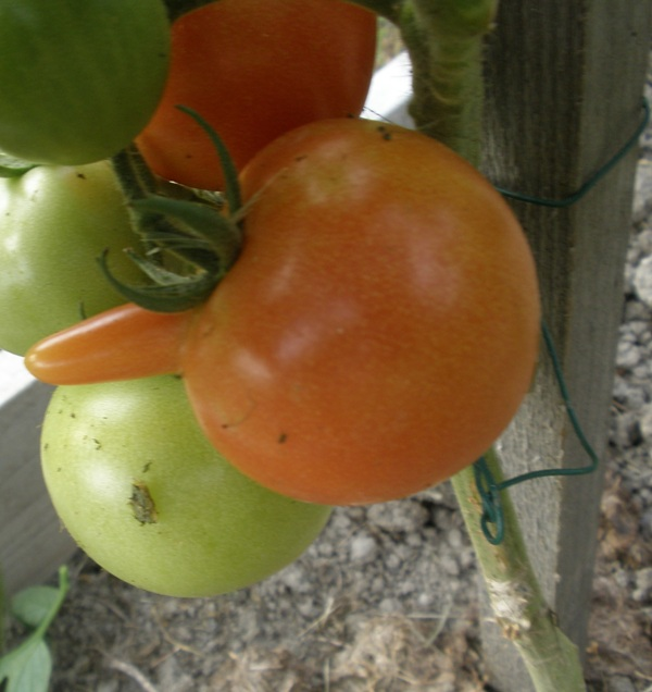 Photos de tomates - Page 2 P8030010