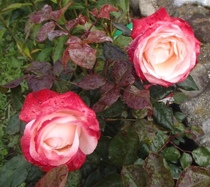 Le potager  et les fleurs  aujourd'hui Rose_g10