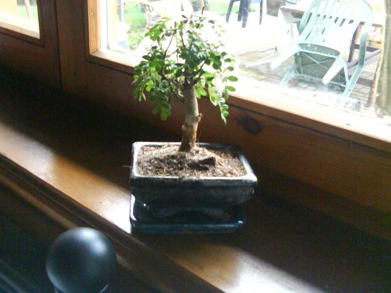 aide pour mon premier bonsaï... Dsc00011