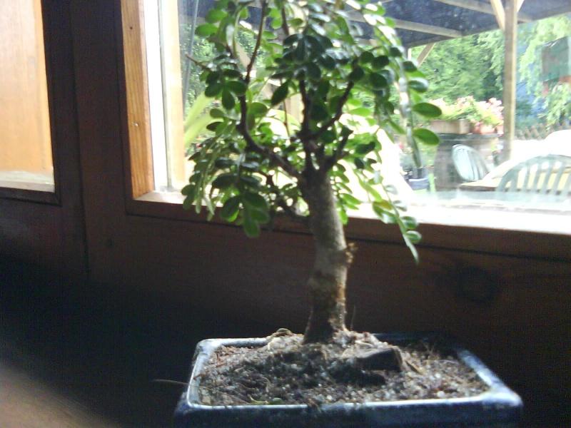 aide pour mon premier bonsaï... Dsc00012