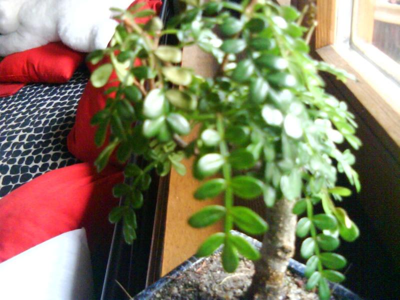 aide pour mon premier bonsaï... Dsc00013
