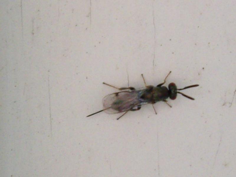 Identifier un insecte, mini guepe ??!? Insect10