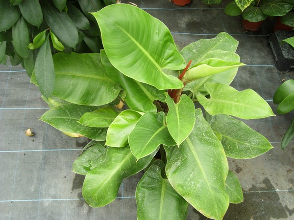 """Identification aracée! Philodendron """"Moonlight"""" ! Idara10"""