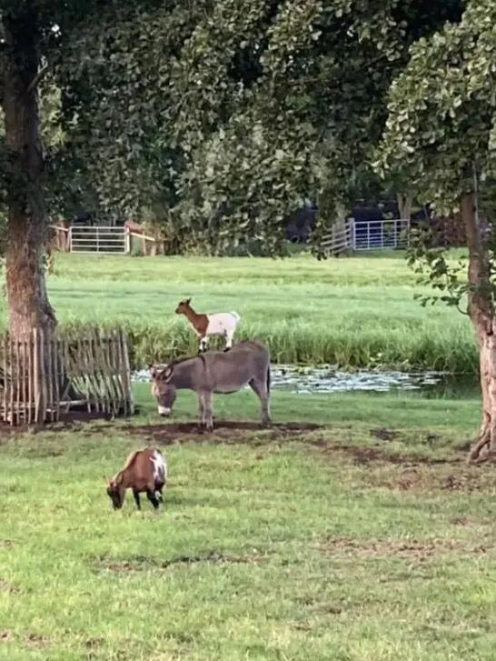 Più furbo capra capra capra o asino asino 1-12910