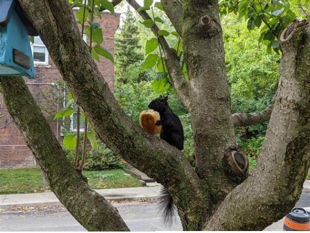 Gli scoiattoli non mangiano solo noccioline 7-148210