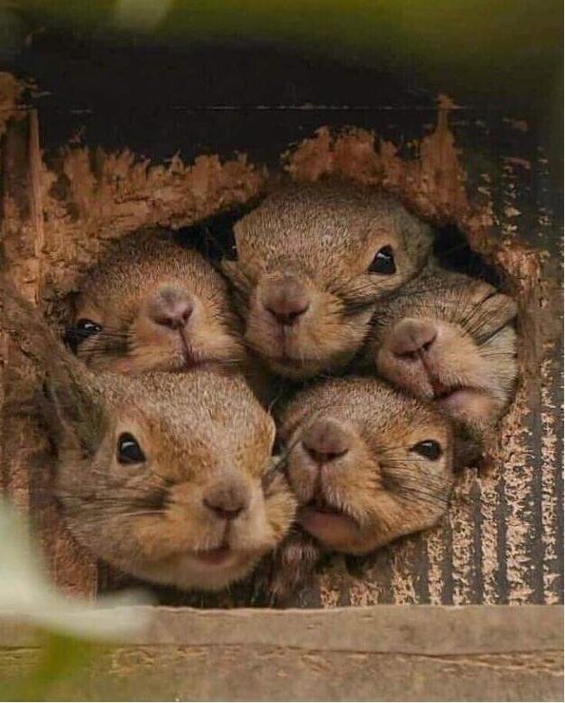 Gli scoiattoli non mangiano solo noccioline Ljjji10