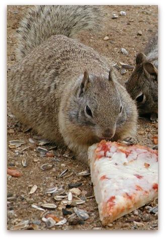 Gli scoiattoli non mangiano solo noccioline Scoiat10