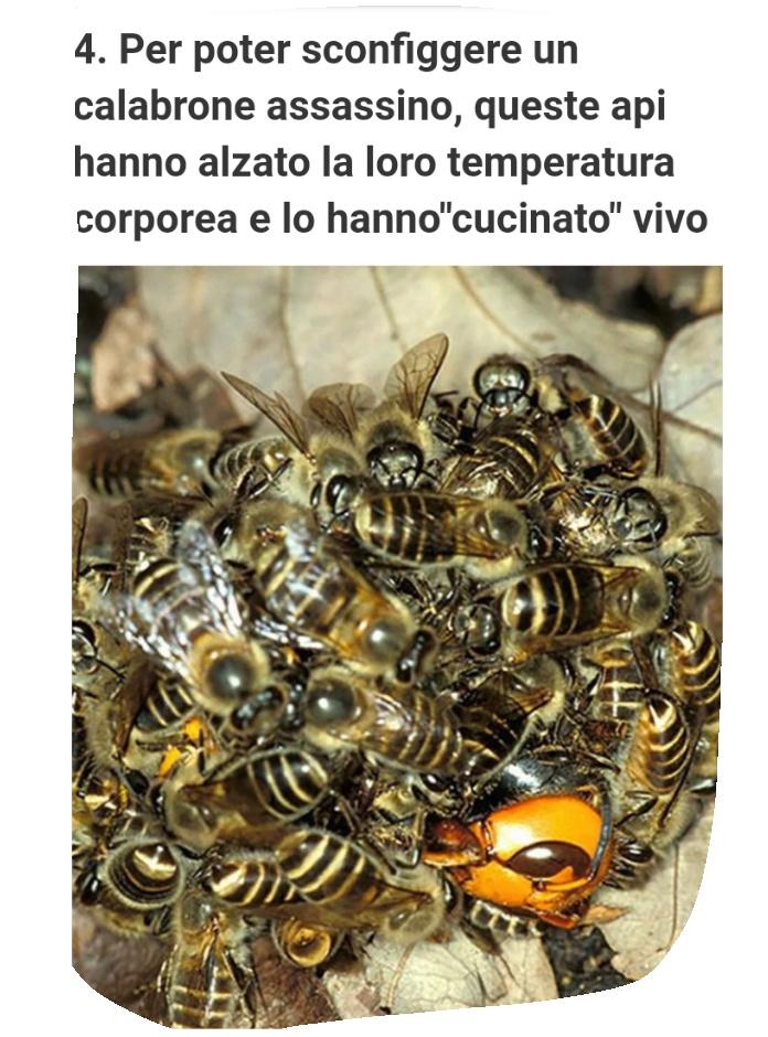 Le api contro calabrone killer Screen11