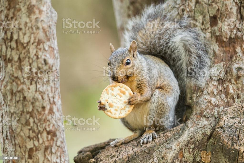 Gli scoiattoli non mangiano solo noccioline Squirr10