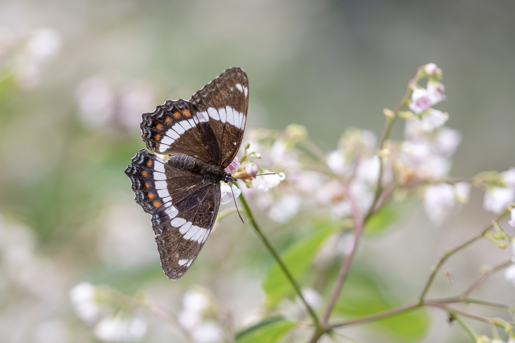 Papillons (4 images) Amiral10