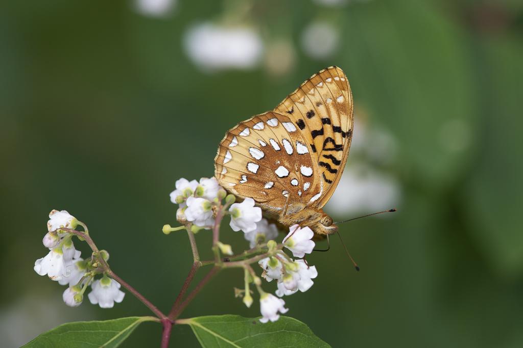 Papillons (4 images) Argcyb11
