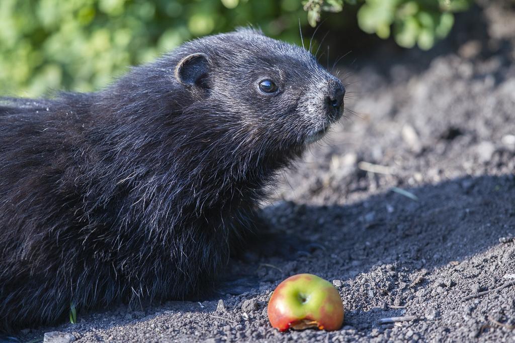 Marmotte noire Marmot10