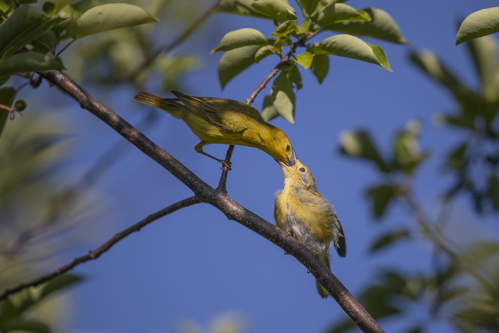 Paruline jaune juvénile et nourrissage Parjju12