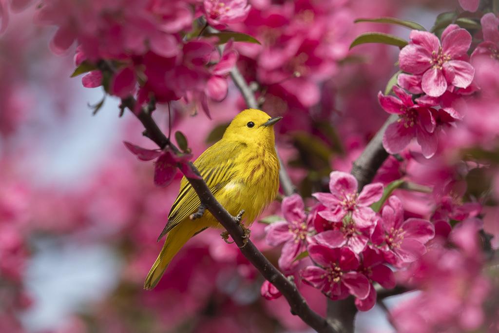 Paruline jaune dans les fleurs Paruj-10