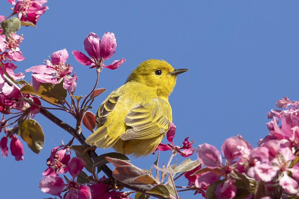 Paruline jaune dans les fleurs Paruj-11