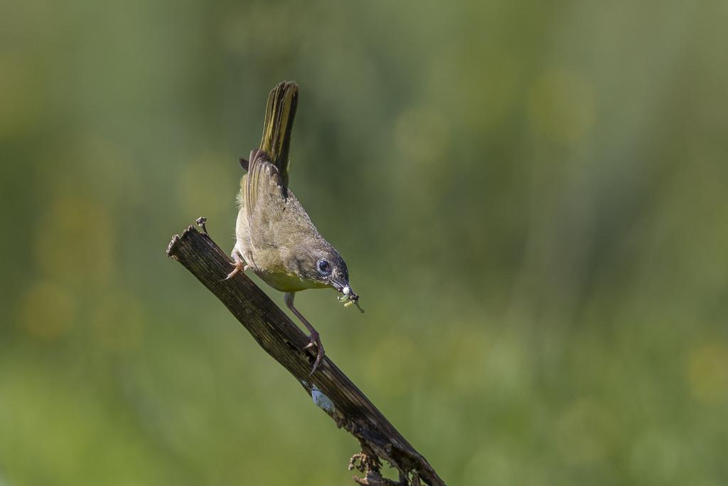 Paruline masquée femelle avec insectes. Paruma11