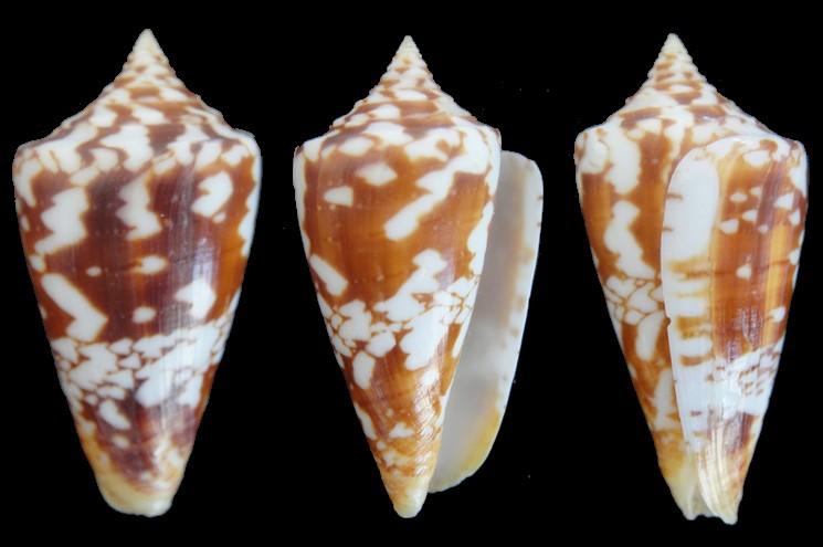 Conus (Leptoconus) castaneofasciatus  Dautzenberg, 1937 - Page 3 5170mm10