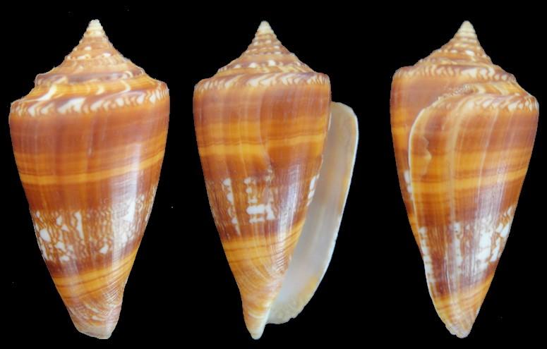 Conus (Leptoconus) castaneofasciatus  Dautzenberg, 1937 - Page 3 56mm10