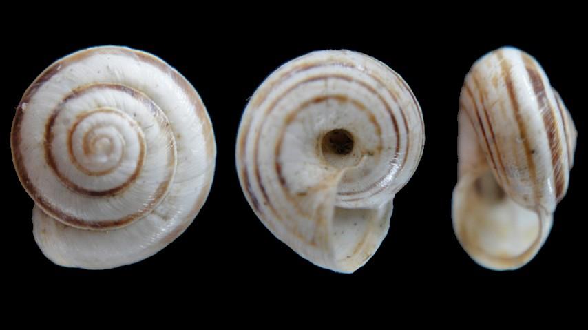 Cernuella aginnica (Hygromiidae) Locard, 1882 Candid10