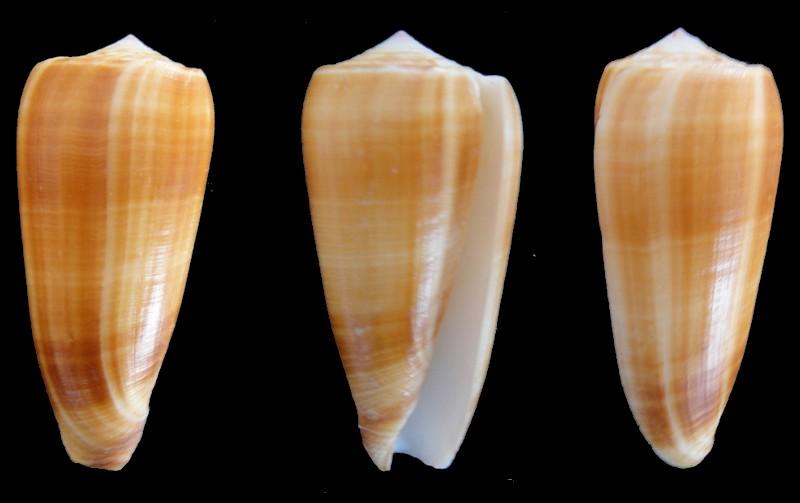 Conus (Pionoconus) carinatus (Swainson, 1822) voir Conus (Pionoconus) magus Conus10