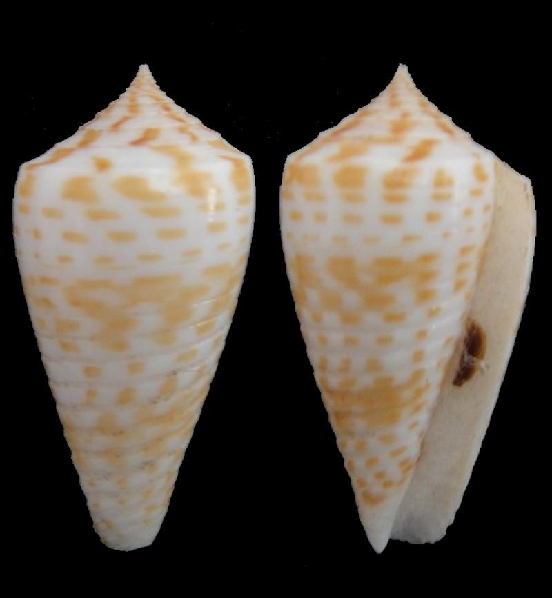 Conus (Phasmoconus) maculospirus (Pilsbry, 1922) voir Conus (Ph) inscriptus Conus_15