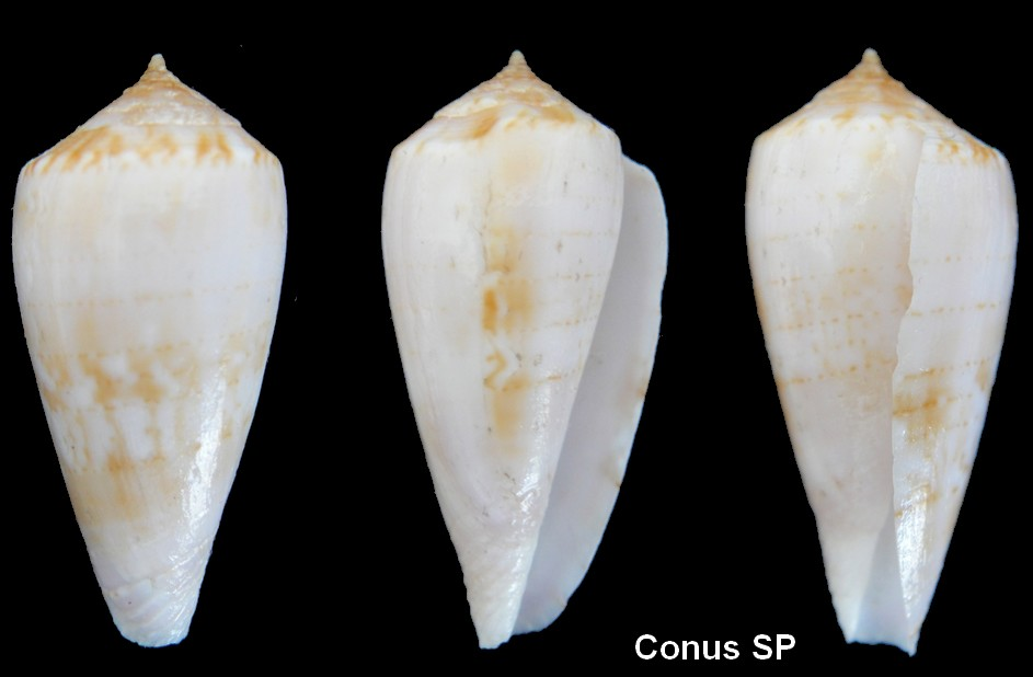 Conus kinoshitai (Afonsoconus) Kuroda, 1956 Conus_19