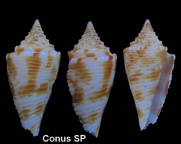 Conasprella (Conasprella) nereis (Petuch, 1979) Conus_20