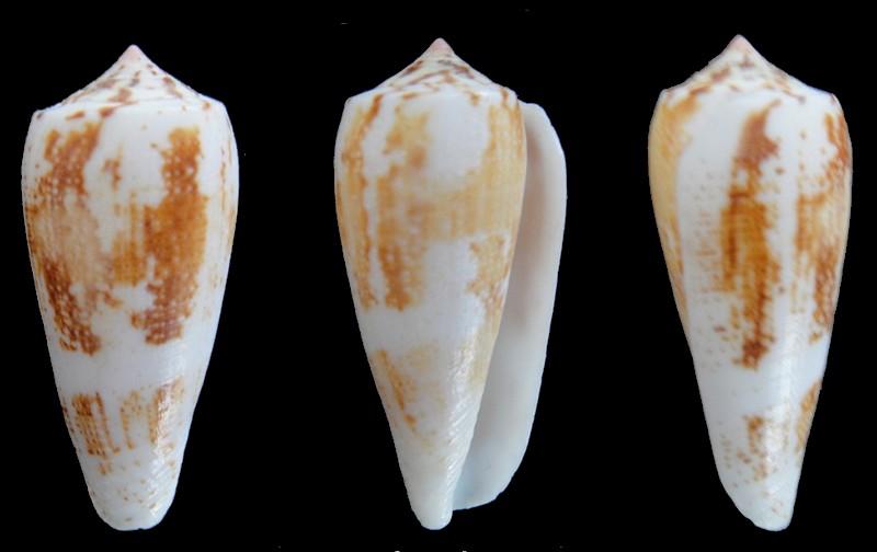 Conus epistomium (Pionoconus) Reeve, 1844 Conus_29