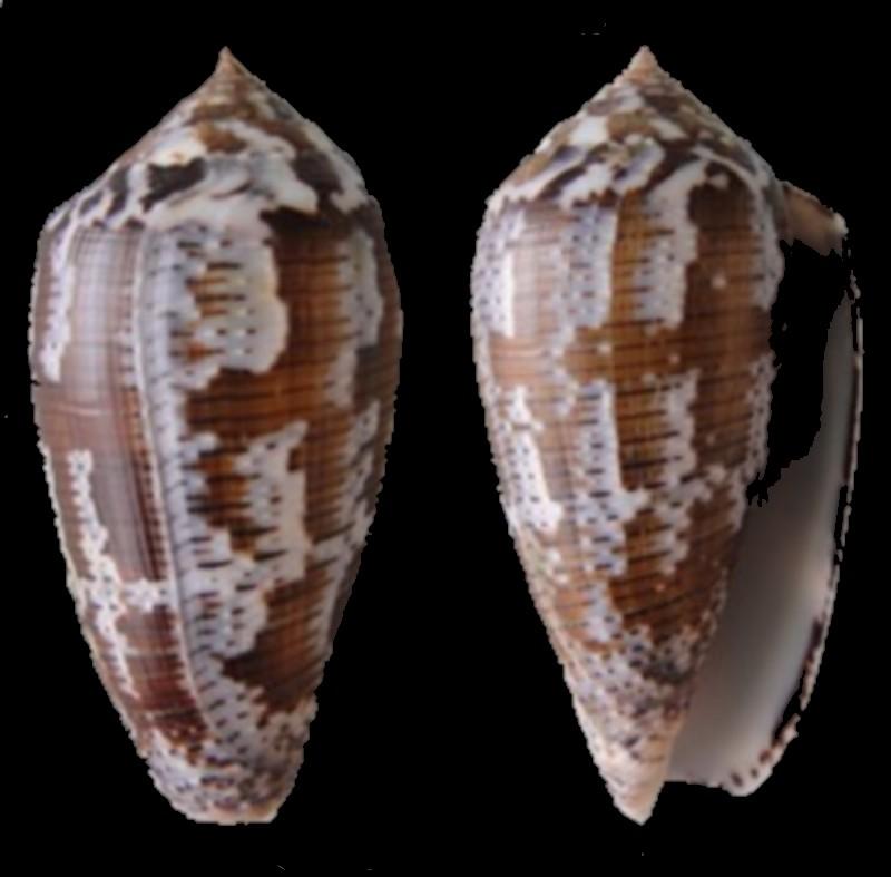 Conus achatinus (Pionoconus)(Gmelin, 1791) Conus_32