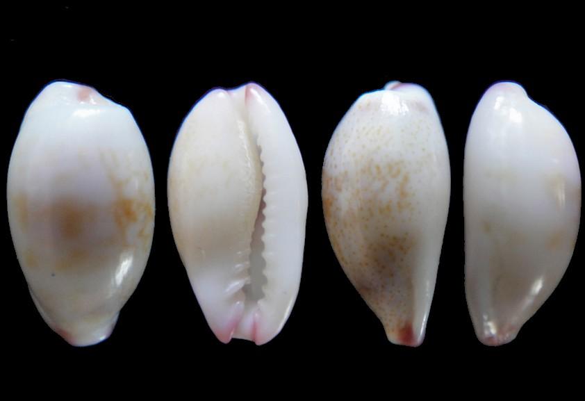 Cypraea fimbriata (Purpuradusta) Gmelin, 1797 Cyprae10