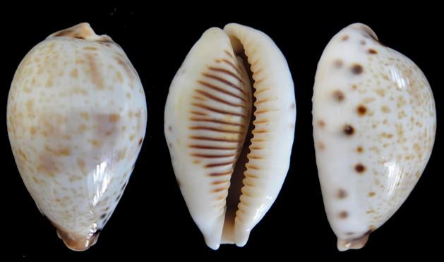 Ficadusta pulchella pericalles - (Melvill & Standen, 1904) Cyprae12
