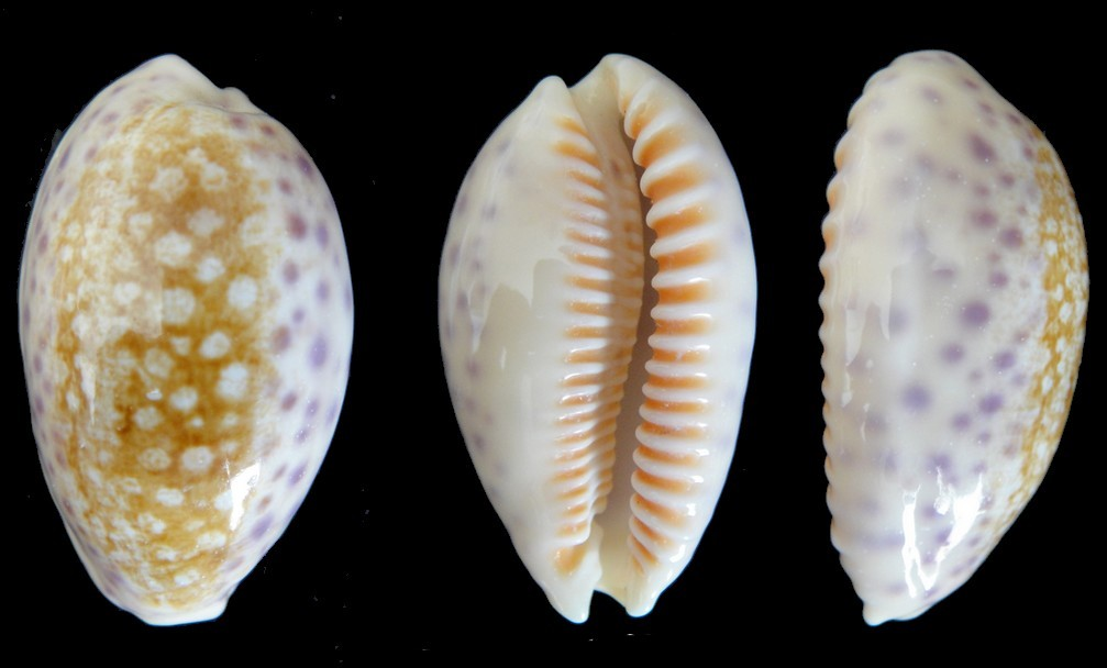 Cypraea chinensis variolaria Lamarck, 1810 Cyprae14