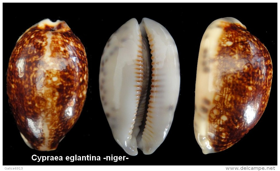 Cypraea eglantina Cyprae15