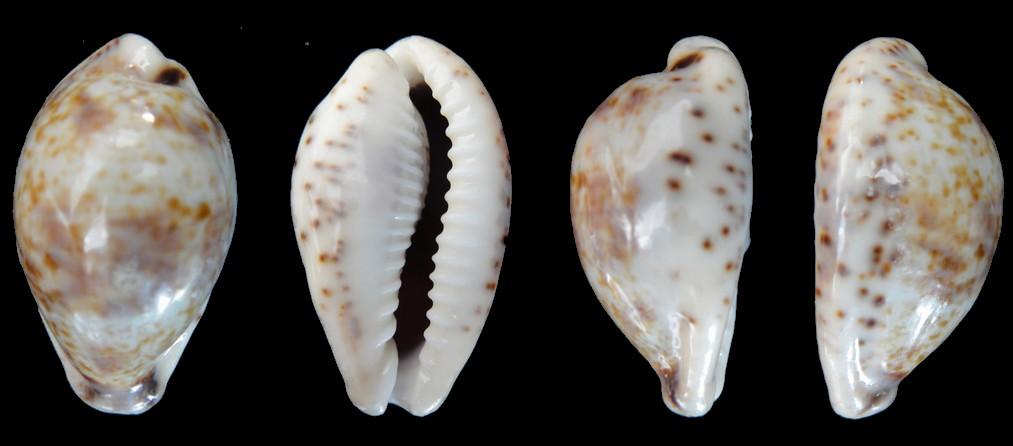 Palmadusta lentiginosa f. buhariensis - (Jonklaas, R.S.L. & K. Nicolay, 1977)  Cyprae16