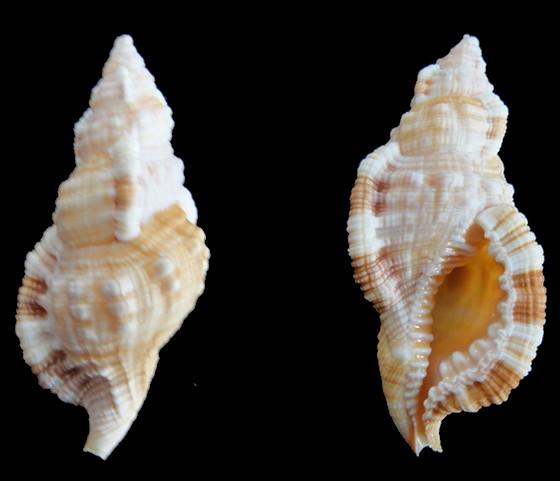 Monoplex pilearis - (Linnaeus, 1758) Monopl10