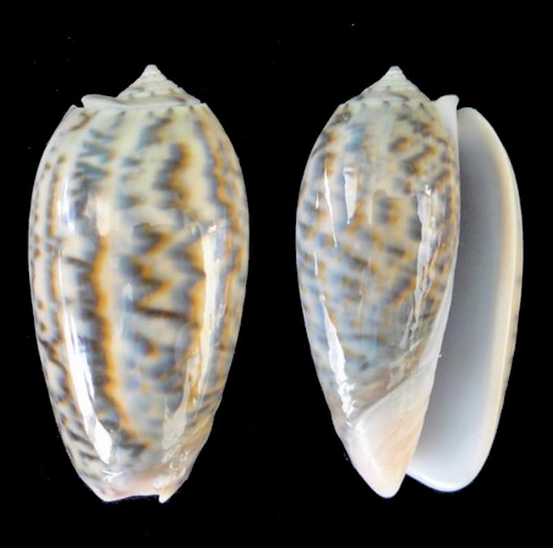 Oliva elegans (Viduoliva) Lamarck, 1811 Oliva_12