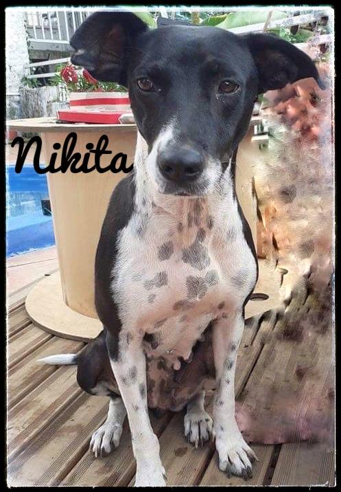 NIKITA, jeune chienne noire et blanche de 1,5 an pour 15,4 kg A462ad10