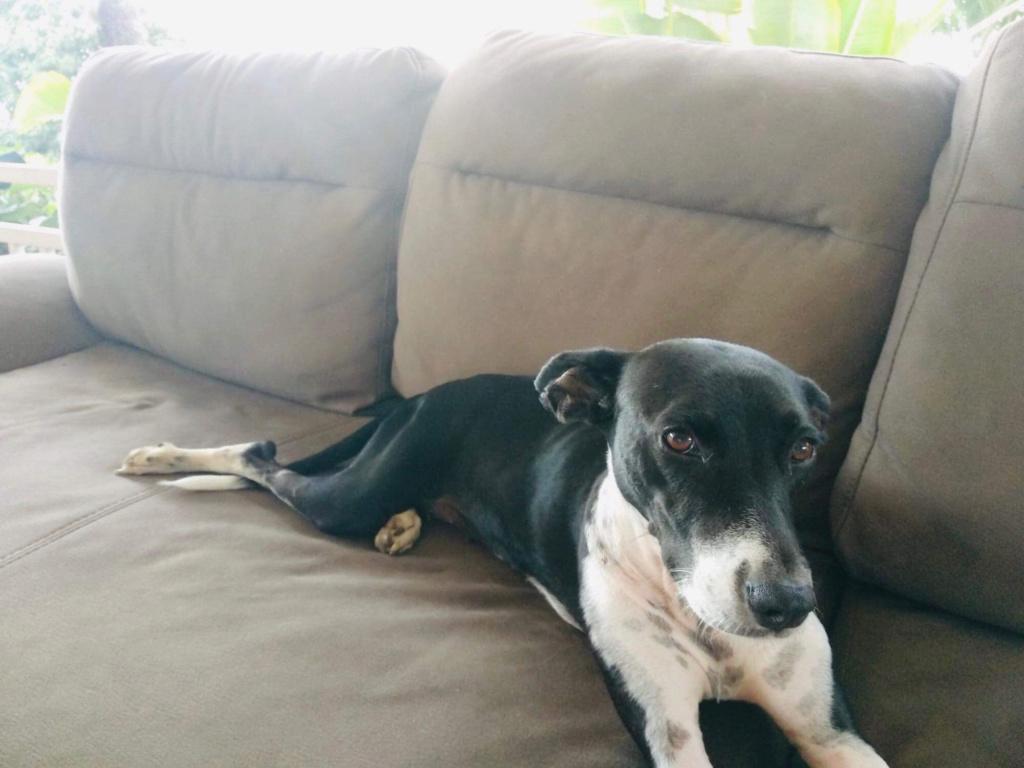 NIKITA, jeune chienne noire et blanche de 1,5 an pour 15,4 kg E551e910