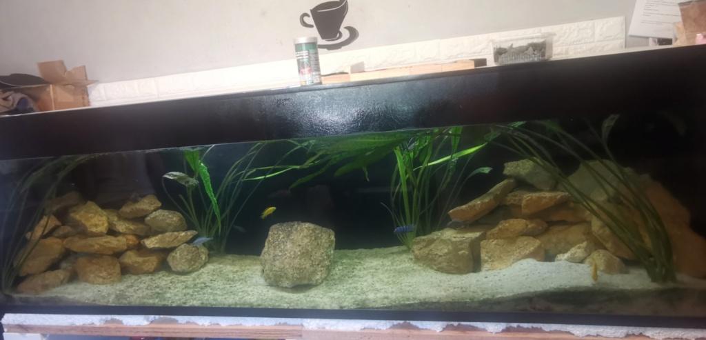 Couple de Labidochromis jaune : cohabitation Img_2017