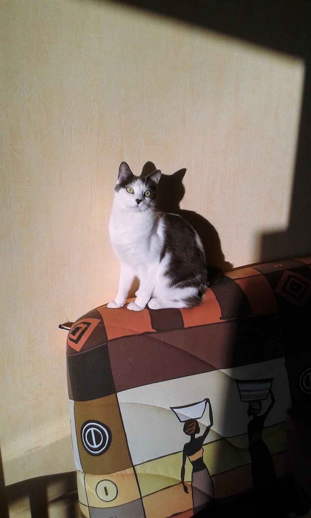 nolo - NOLO, chaton européen gris & blanc, né le 15/08/17 02110
