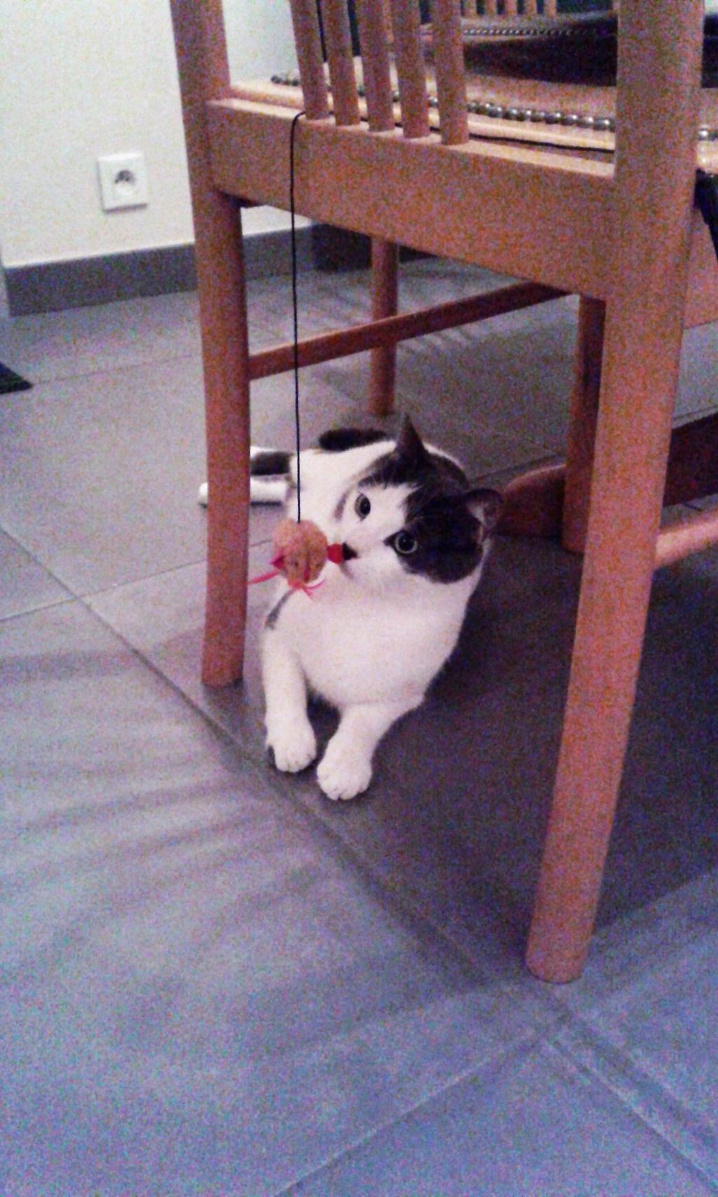 nolo - NOLO, chaton européen gris & blanc, né le 15/08/17 02310