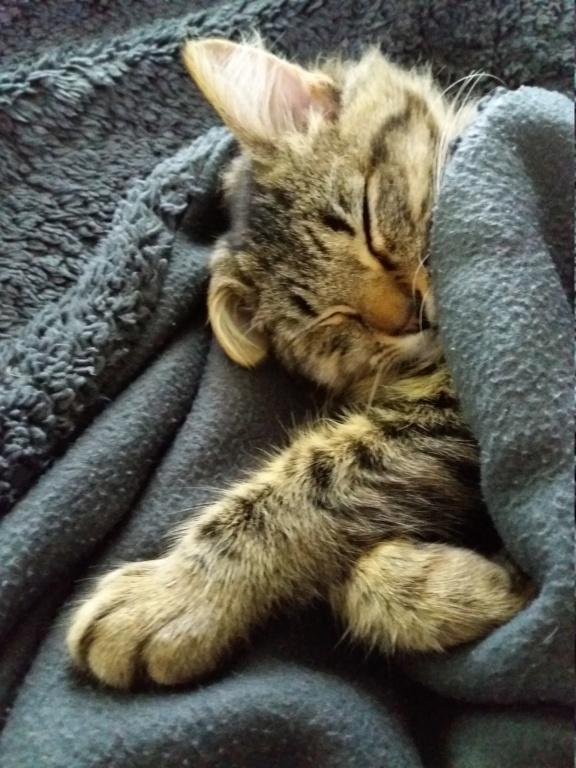 nika - NIKA, chatonne européenne tigré, poils mi-longs, née le 27/04/17 20171013