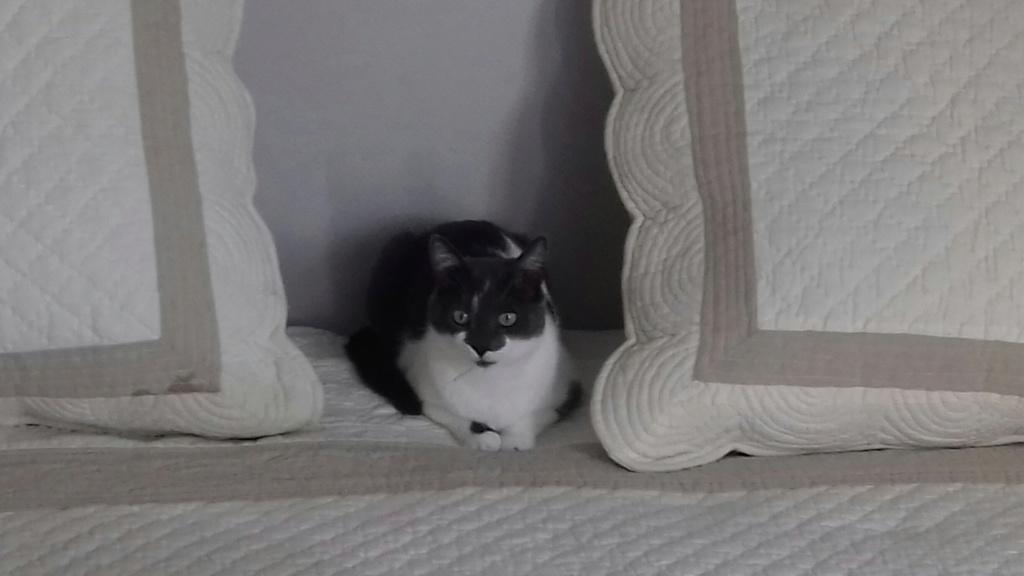 manon - MANON, jeune chatte européenne, Grise&blanche, née en mai 2016. 20180711