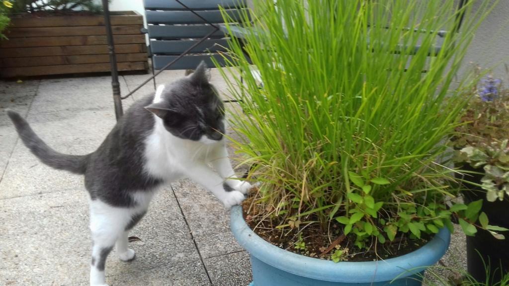 manon - MANON, jeune chatte européenne, Grise&blanche, née en mai 2016. 20180712