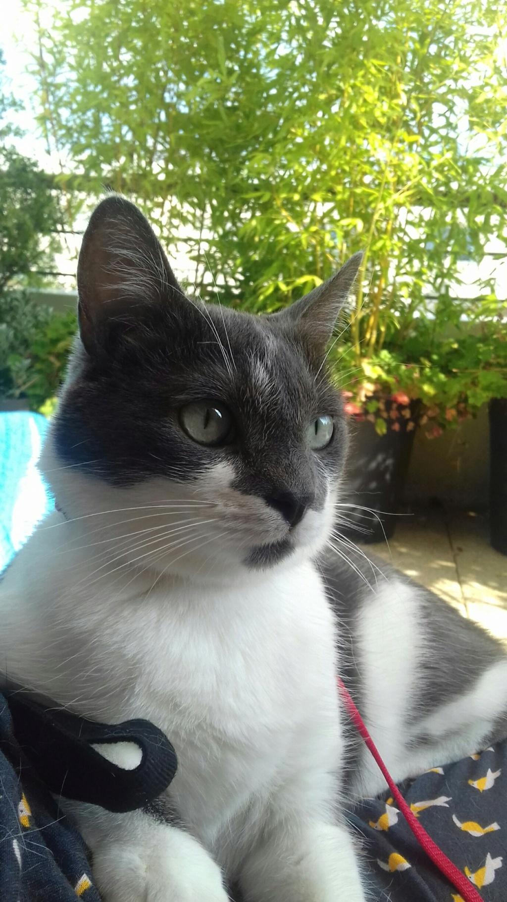 manon - MANON, jeune chatte européenne, Grise&blanche, née en mai 2016. 20180715