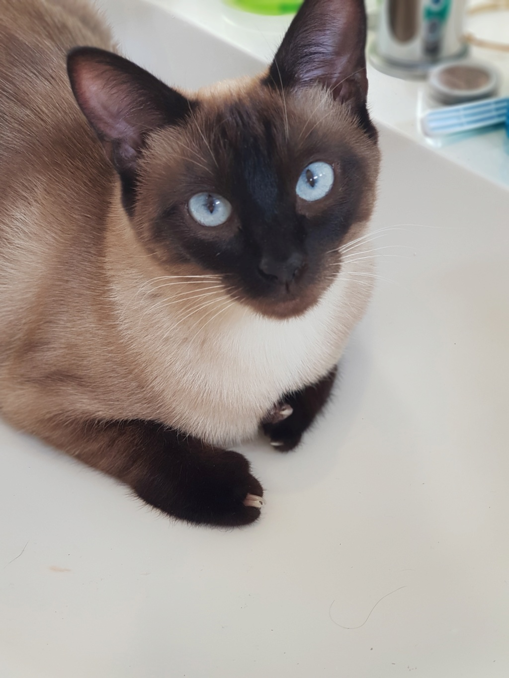 Ostral, chaton femelle type siamois, née le 02.04.2018 20190318