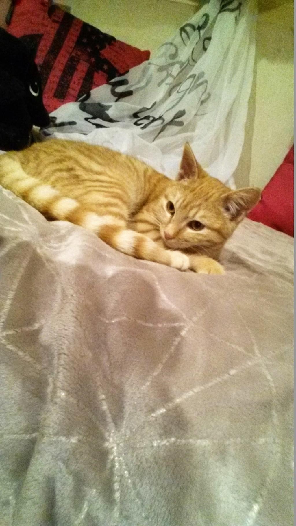 Nino , chaton roux Tabby et blanc, Né le 26/02/2017 Img-2010