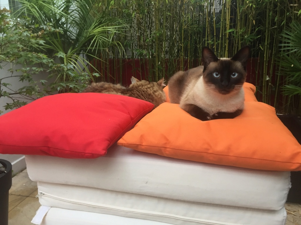 Ostral, chaton femelle type siamois, née le 02.04.2018 Img_1410