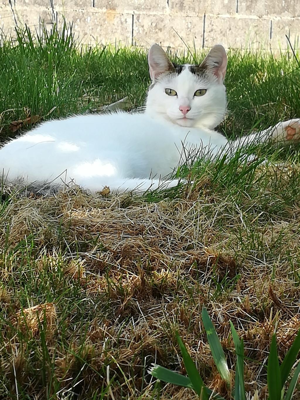 nana - NANA, chatonne, type européen,  blanche et tigrée née le 15/04/17 Img_2020